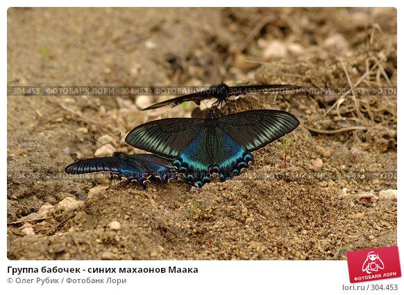 Группа бабочек - синих махаонов Маака, фото № 304453, снято 3 мая 2008 г. (c) Олег Рубик / Фотобанк Лори
