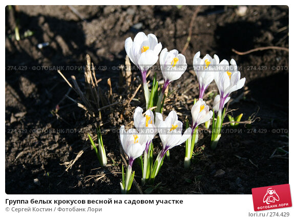 Группа белых крокусов весной на садовом участке, фото № 274429, снято 3 мая 2008 г. (c) Сергей Костин / Фотобанк Лори