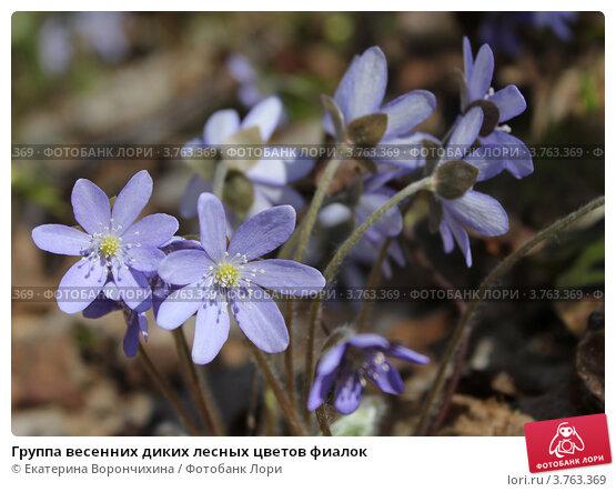 Купить «Группа весенних диких лесных цветов фиалок», фото № 3763369, снято 30 апреля 2012 г. (c) Екатерина Ворончихина / Фотобанк Лори