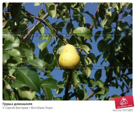 Купить «Груша домашняя», фото № 517857, снято 29 августа 2004 г. (c) Сергей Бехтерев / Фотобанк Лори