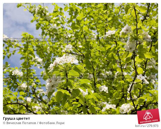 Груша цветет, фото № 279973, снято 2 мая 2008 г. (c) Вячеслав Потапов / Фотобанк Лори