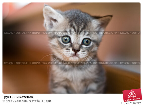Грустный котенок, фото № 126297, снято 27 октября 2016 г. (c) Игорь Соколов / Фотобанк Лори