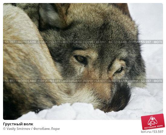 Грустный волк, фото № 53597, снято 26 февраля 2017 г. (c) Vasily Smirnov / Фотобанк Лори