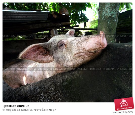 Грязная свинья, фото № 214565, снято 24 февраля 2008 г. (c) Морозова Татьяна / Фотобанк Лори