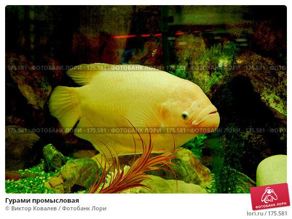 Гурами промысловая, фото № 175581, снято 11 января 2008 г. (c) Виктор Ковалев / Фотобанк Лори