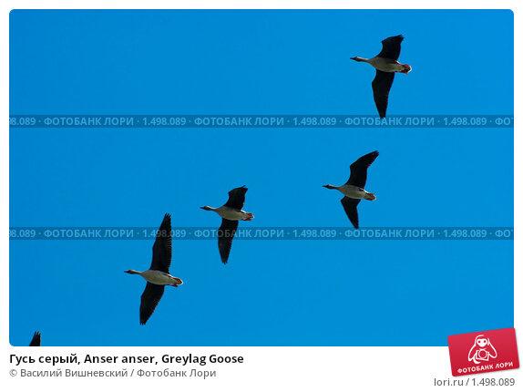 Купить «Гусь серый, Anser anser, Greylag Goose», фото № 1498089, снято 5 мая 2008 г. (c) Василий Вишневский / Фотобанк Лори