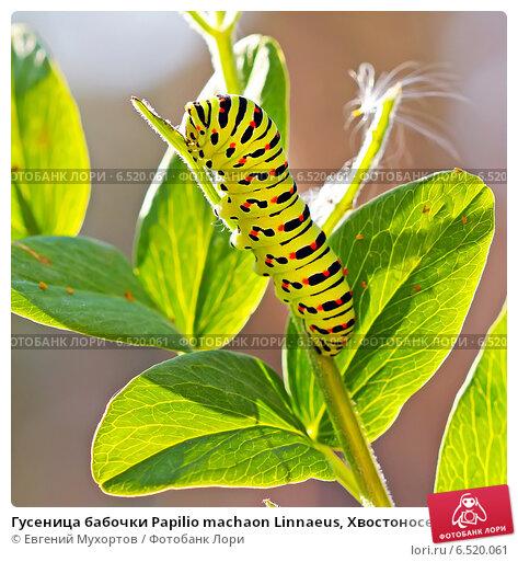 Купить «Гусеница бабочки Papilio machaon Linnaeus, Хвостоносец махаон», эксклюзивное фото № 6520061, снято 24 августа 2014 г. (c) Евгений Мухортов / Фотобанк Лори