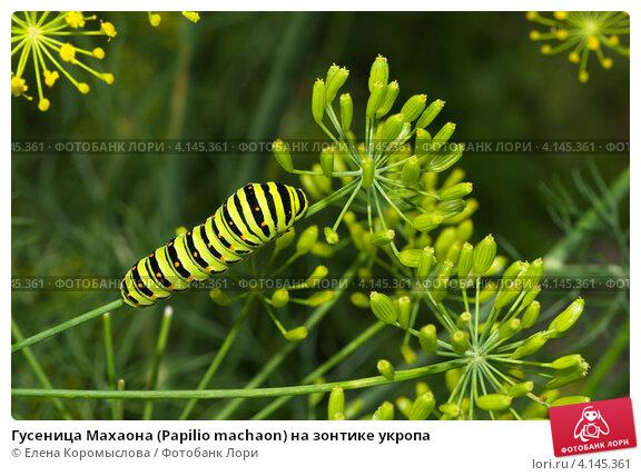 Купить «Гусеница Махаона (Papilio machaon) на зонтике укропа», эксклюзивное фото № 4145361, снято 4 августа 2012 г. (c) Елена Коромыслова / Фотобанк Лори