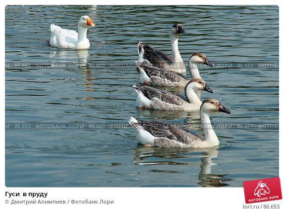 Гуси  в пруду, фото № 86653, снято 25 августа 2007 г. (c) Дмитрий Алимпиев / Фотобанк Лори