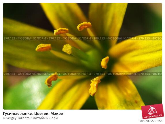 Купить «Гусиные лапки. Цветок. Макро», фото № 270153, снято 26 апреля 2008 г. (c) Sergey Toronto / Фотобанк Лори