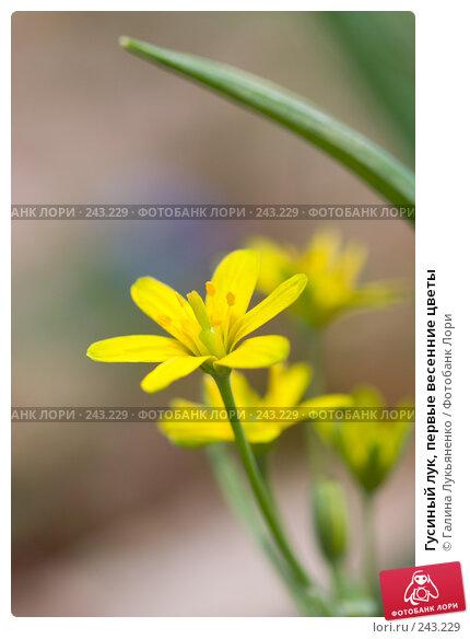 Гусиный лук, первые весенние цветы, фото № 243229, снято 5 апреля 2008 г. (c) Галина Лукьяненко / Фотобанк Лори