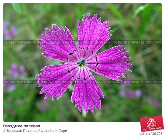 Гвоздика полевая, фото № 26725, снято 16 июля 2004 г. (c) Вячеслав Потапов / Фотобанк Лори