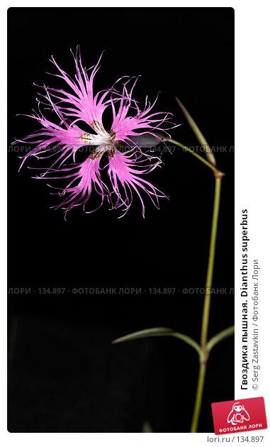 Гвоздика пышная. Dianthus superbus, фото № 134897, снято 14 августа 2006 г. (c) Serg Zastavkin / Фотобанк Лори