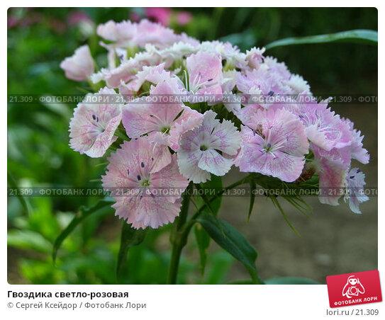 Купить «Гвоздика светло-розовая», фото № 21309, снято 23 июня 2006 г. (c) Сергей Ксейдор / Фотобанк Лори