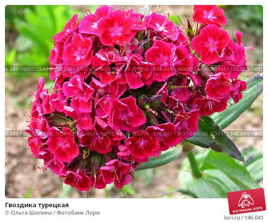 Гвоздика турецкая, фото № 146041, снято 24 июля 2006 г. (c) Ольга Шилина / Фотобанк Лори