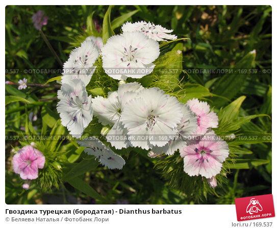 Гвоздика турецкая (бородатая) - Dianthus barbatus, фото № 169537, снято 8 июля 2006 г. (c) Беляева Наталья / Фотобанк Лори