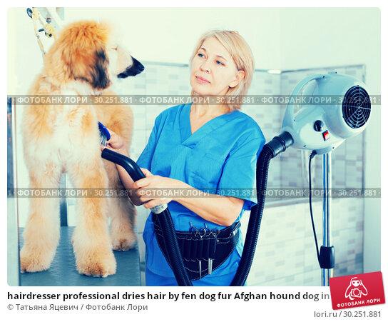 Купить «hairdresser professional dries hair by fen dog fur Afghan hound dog in hairdresser for animal», фото № 30251881, снято 17 октября 2017 г. (c) Татьяна Яцевич / Фотобанк Лори