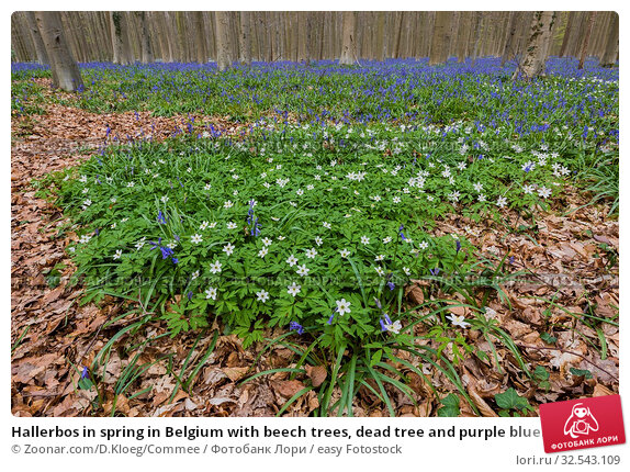 Купить «Hallerbos in spring in Belgium with beech trees, dead tree and purple bluebells.», фото № 32543109, снято 16 декабря 2019 г. (c) easy Fotostock / Фотобанк Лори