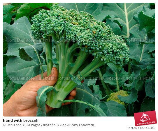 когда убирать урожай капусты брокколи