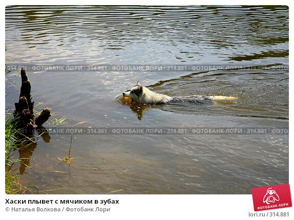 Хаски плывет с мячиком в зубах, фото № 314881, снято 8 июня 2008 г. (c) Наталья Волкова / Фотобанк Лори
