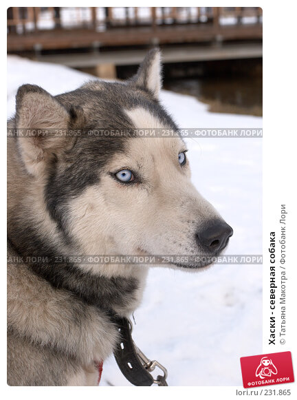 Хаски - северная собака, фото № 231865, снято 27 декабря 2007 г. (c) Татьяна Макотра / Фотобанк Лори
