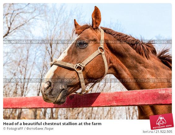 Купить «Head of a beautiful chestnut stallion at the farm», фото № 21922505, снято 23 апреля 2019 г. (c) FotograFF / Фотобанк Лори