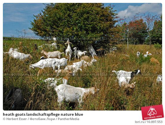 Купить «heath goats landschaftspflege nature blue», фото № 10897553, снято 22 мая 2019 г. (c) PantherMedia / Фотобанк Лори