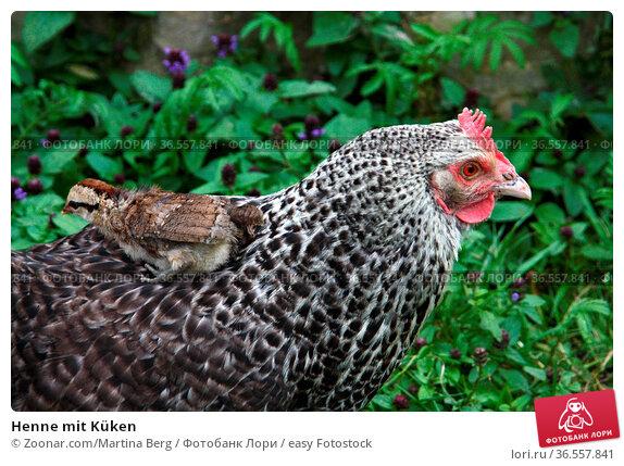 Henne mit Küken. Стоковое фото, фотограф Zoonar.com/Martina Berg / easy Fotostock / Фотобанк Лори