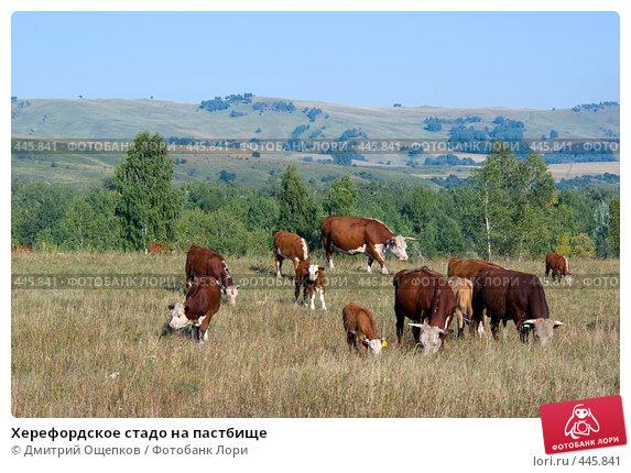 Херефордское стадо на пастбище. Стоковое фото, фотограф Дмитрий Ощепков / Фотобанк Лори