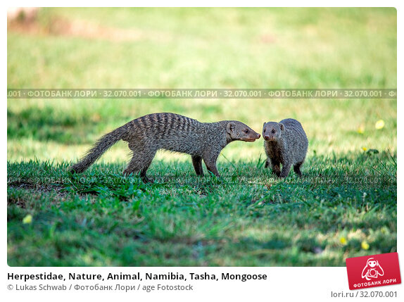 Herpestidae, Nature, Animal, Namibia, Tasha, Mongoose. Стоковое фото, фотограф Lukas Schwab / age Fotostock / Фотобанк Лори