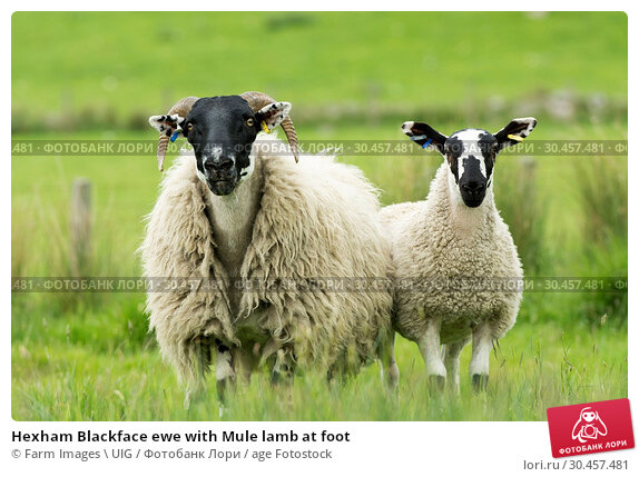 Hexham Blackface ewe with Mule lamb at foot. Стоковое фото, фотограф Farm Images \ UIG / age Fotostock / Фотобанк Лори