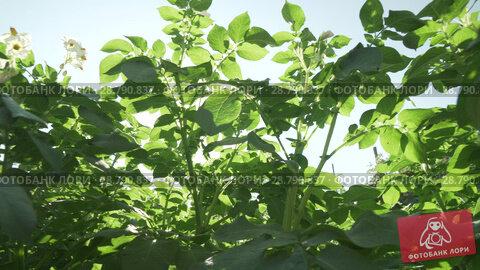 Купить «High potato bushes with flowers grow in garden stock footage video», видеоролик № 28790837, снято 19 июля 2018 г. (c) Юлия Машкова / Фотобанк Лори