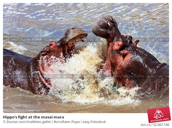 Hippo's fight at the masai mara. Стоковое фото, фотограф Zoonar.com/matthieu gallet / easy Fotostock / Фотобанк Лори