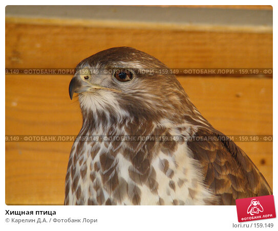 Хищная птица, фото № 159149, снято 27 октября 2007 г. (c) Карелин Д.А. / Фотобанк Лори