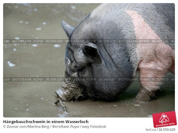 Hängebauchschwein in einem Wasserloch. Стоковое фото, фотограф Zoonar.com/Martina Berg / easy Fotostock / Фотобанк Лори