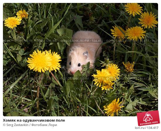 Купить «Хомяк на одуванчиковом поле», фото № 134417, снято 26 мая 2006 г. (c) Serg Zastavkin / Фотобанк Лори