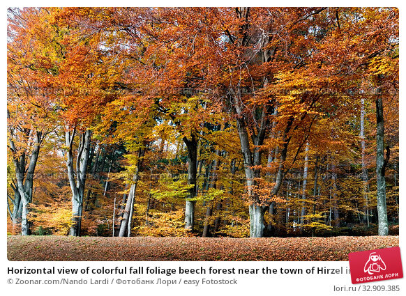 Horizontal view of colorful fall foliage beech forest near the town of Hirzel in the rolling hills of the central Swiss Alps as a nature background. Стоковое фото, фотограф Zoonar.com/Nando Lardi / easy Fotostock / Фотобанк Лори