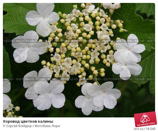 Хоровод цветков калины, фото № 18549, снято 9 июня 2006 г. (c) Сергей Ксейдор / Фотобанк Лори