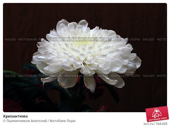 Хризантема, фото № 164025, снято 9 декабря 2007 г. (c) Пшеничников Анатолий / Фотобанк Лори
