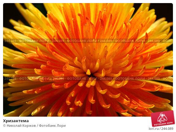 Хризантема, фото № 244089, снято 8 марта 2008 г. (c) Николай Коржов / Фотобанк Лори