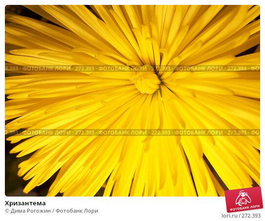 Хризантема, фото № 272393, снято 3 мая 2008 г. (c) Дима Рогожин / Фотобанк Лори