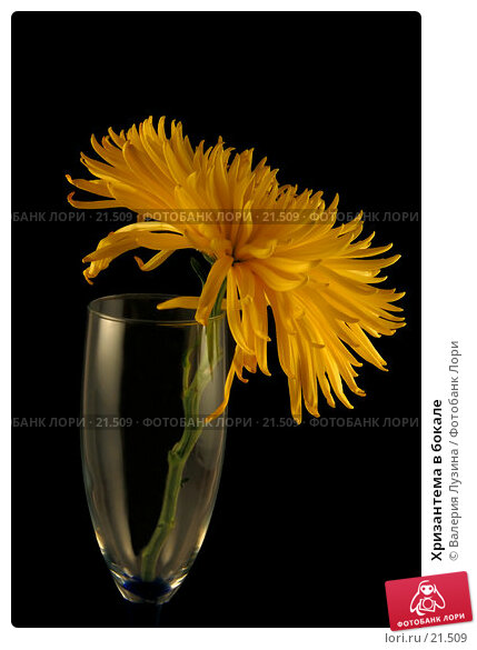 Хризантема в бокале, фото № 21509, снято 6 марта 2007 г. (c) Валерия Потапова / Фотобанк Лори