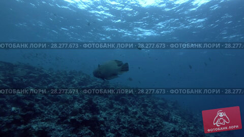 Купить «Humphead Wrasse or Napoleonfish - Cheilinus undulatus swim in the blue water, Indian Ocean, Maldives», видеоролик № 28277673, снято 6 апреля 2018 г. (c) Некрасов Андрей / Фотобанк Лори
