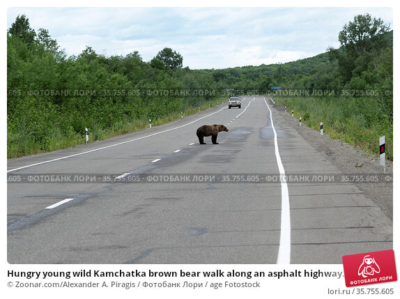 Hungry young wild Kamchatka brown bear walk along an asphalt highway... Стоковое фото, фотограф Zoonar.com/Alexander A. Piragis / age Fotostock / Фотобанк Лори