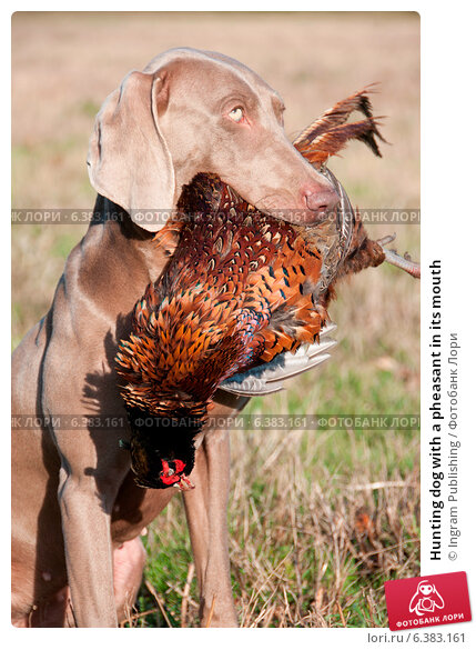 Купить «Hunting dog with a pheasant in its mouth», фото № 6383161, снято 22 марта 2019 г. (c) Ingram Publishing / Фотобанк Лори