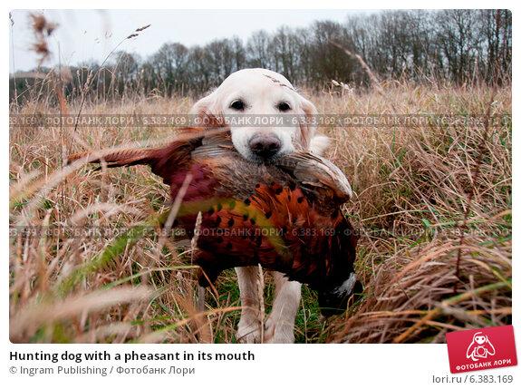 Купить «Hunting dog with a pheasant in its mouth», фото № 6383169, снято 21 марта 2019 г. (c) Ingram Publishing / Фотобанк Лори