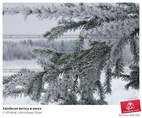 Хвойная ветка в инее, фото № 234105, снято 25 ноября 2004 г. (c) VPutnik / Фотобанк Лори