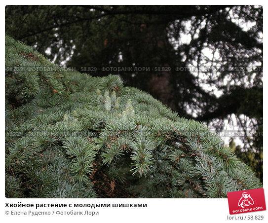 Хвойное растение с молодыми шишками, фото № 58829, снято 10 сентября 2005 г. (c) Елена Руденко / Фотобанк Лори