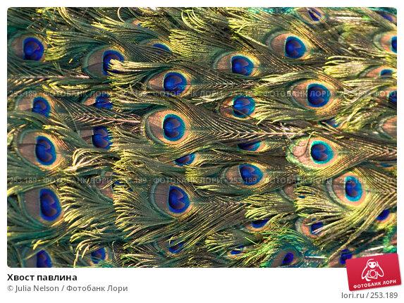 Хвост павлина, фото № 253189, снято 30 марта 2008 г. (c) Julia Nelson / Фотобанк Лори