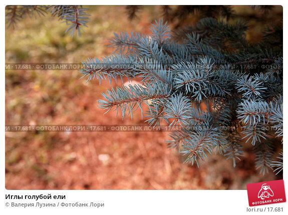 Иглы голубой ели, фото № 17681, снято 3 октября 2006 г. (c) Валерия Потапова / Фотобанк Лори